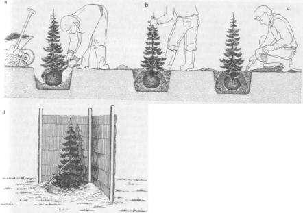 plantering-barrträd