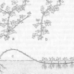 Jeżyna - Sadzenie, prowadzenie i cięcie krzewów