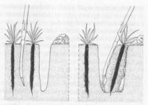 scorzonera
