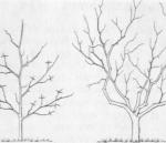 Orzech laskowy sadzenie cięcie